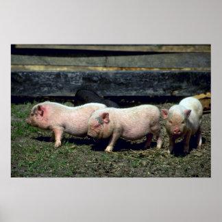 Cerdos de la barriga póster