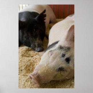 Cerdos soñolientos poster