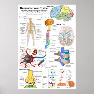 Cerebro humano y diagrama de sistema nervioso cent póster