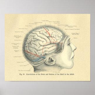 Cerebro y cráneo anatómicos de Frohse del vintage Poster
