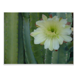 Cereus Fringe Poster