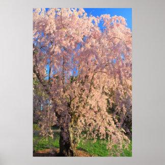 Cereza floreciente en el arboreto de Arnold Póster