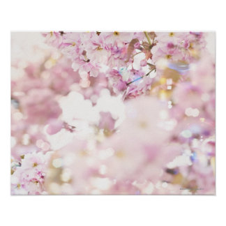 Cereza floreciente (serrulata) del Prunus, Póster