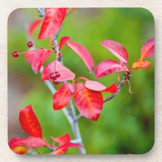 Cereza occidental de la obstrucción (Prunus Posavaso