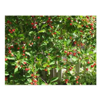 Cerezas rojas de la empanada tarjeta postal