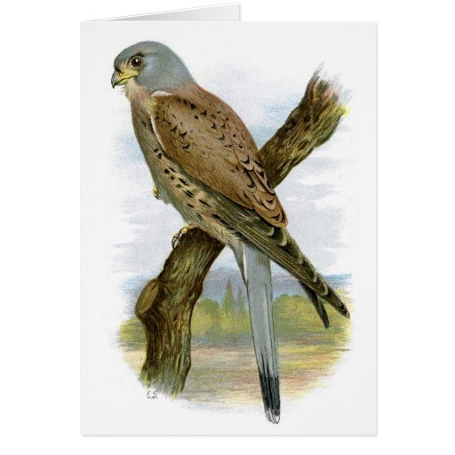 Cernícalo común - tinnunculus de Falco Tarjetas