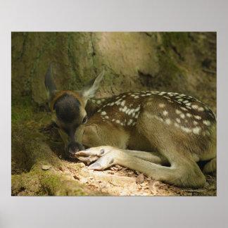Cervatillo del ciervo común en el bosque, Alemania Poster