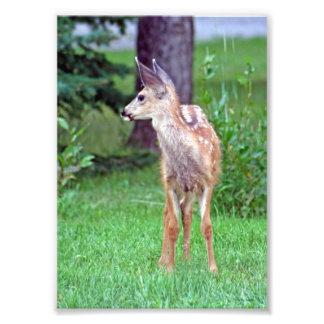 Cervatillo del ciervo mula fotografía