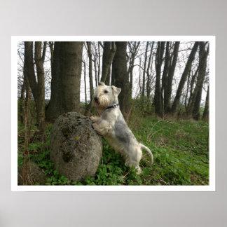 Cesky Terrier in Woods Poster