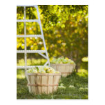 Cestas de manzanas en huerta tarjeta postal