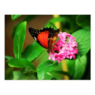 Cethosia biblis Postcard