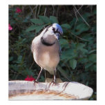 CF- Funny Blue Jay Poster