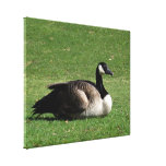 CGR Canada Goose Resting Gallery Wrapped Canvas