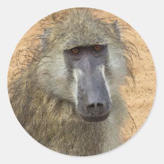 Chacma Baboon, Botswana, Africa, Sticker