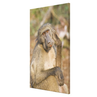 Chacma Baboon (Papio ursinus) scratching its Gallery Wrapped Canvas