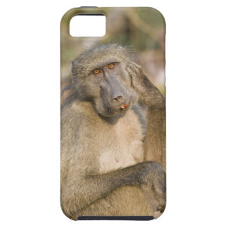 Chacma Baboon (Papio ursinus) scratching its iPhone 5 Cover