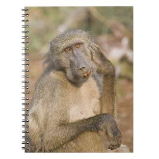 Chacma Baboon (Papio ursinus) scratching its Notebook