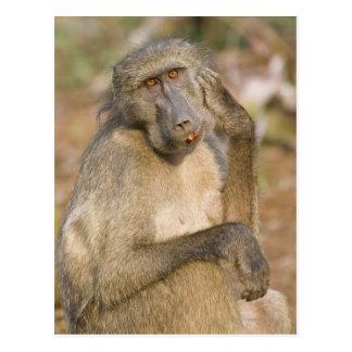 Chacma Baboon (Papio ursinus) scratching its Postcard