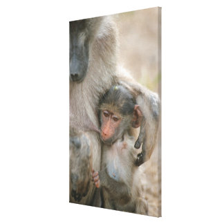 Chacma Baboon, Papio ursinus with young, Kruger Stretched Canvas Print