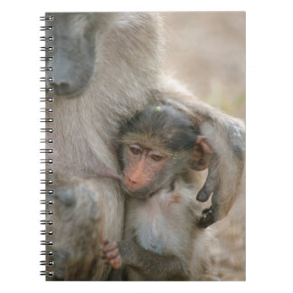 Chacma Baboon, Papio ursinus with young, Kruger Notebook