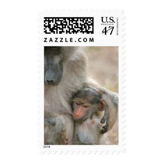 Chacma Baboon, Papio ursinus with young, Kruger Postage