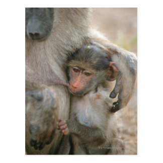 Chacma Baboon, Papio ursinus with young, Kruger Postcard