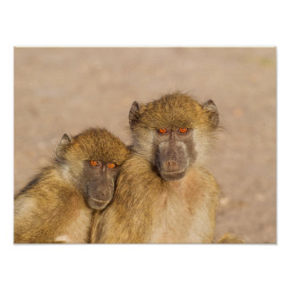 Chacma Baboon, two subadults in the early morning Poster