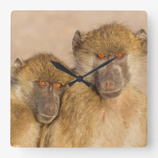 Chacma Baboon, two subadults in the early morning Square Wall Clock