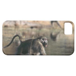 Chacma Baboons (Papio ursinus) walking through iPhone 5 Case