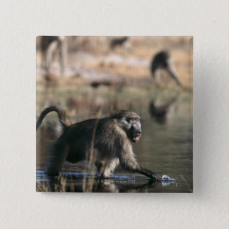 Chacma Baboons (Papio ursinus) walking through Pinback Button