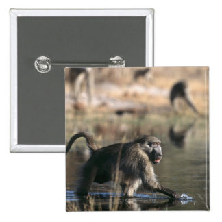 Chacma Baboons (Papio ursinus) walking through Pinback Button