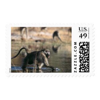 Chacma Baboons (Papio ursinus) walking through Stamps