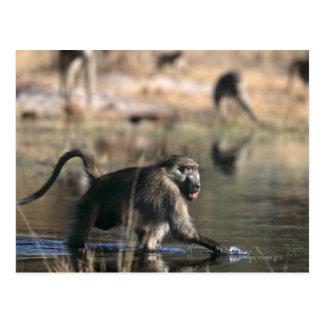 Chacma Baboons (Papio ursinus) walking through Postcard