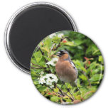 CHAFFINCH MAGNETS