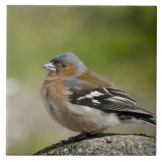 Chaffinch masculino (SALVAJE: Coelebs del Fringill Azulejo Cuadrado Grande