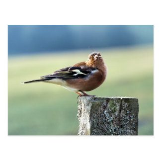 CHAFFINCH POSTALES