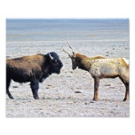 Challenge Elk vs. Buffalo 8x10 Photo Print