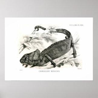 Chamaeleon monachus poster