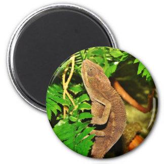 Chameleon Camouflaging Brown Magnet
