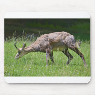 Chamois eating grass mouse pad
