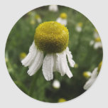 Chamomile After the Rain Round Stickers