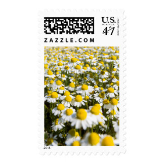 Chamomile Field, Hungary Stamp