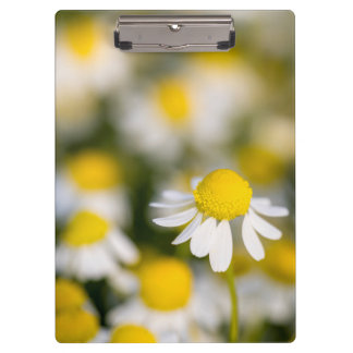 Chamomile flower close-up, Hungary Clipboard