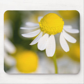 Chamomile flower close-up, Hungary Mouse Pad