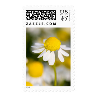 Chamomile flower close-up, Hungary Postage