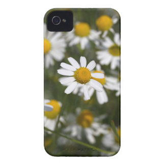 Chamomile flowers iPhone 4 cover