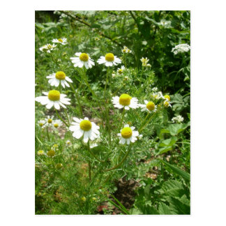 chamomile Flowers Postcard