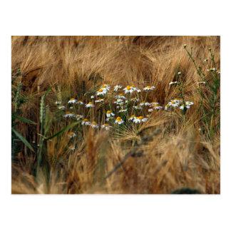 Chamomile in the grain postcard