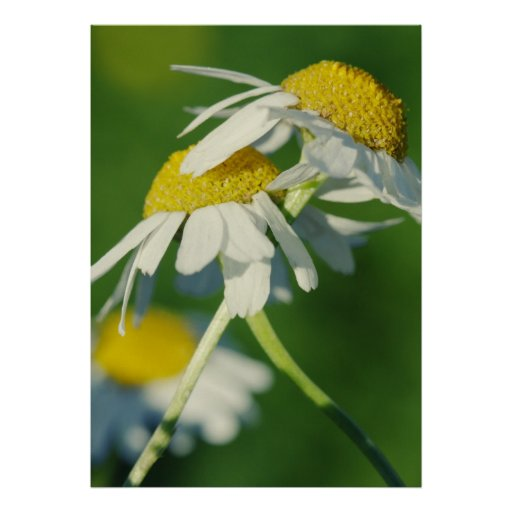 Chamomile Posters