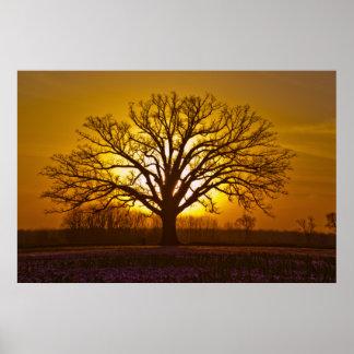 Champion Bur Oak Sunset Poster